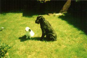"""Simson - """"Schnuffel"""" - Coton de Tuléar (5.5.1996) und Erco von der Lohburg - """"Sammy"""" - (27.9.1997) im August 2007"""